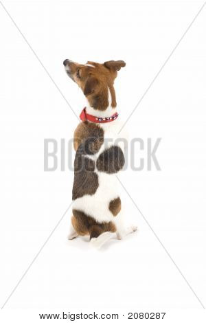 Jack Russell Lovely Puppy