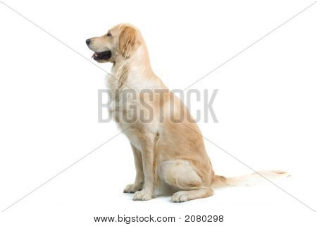 Golden Retriever Sitting Down