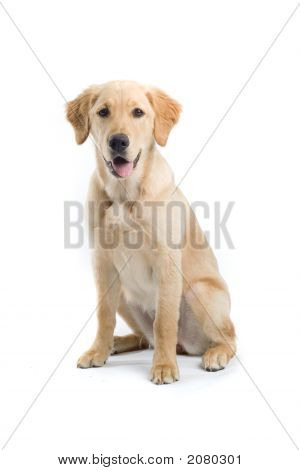 Adorable Golden Retriever Sitting Down