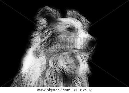 Artistic Impression Pencil Drawing Of Border Collie