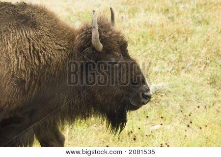 Bison Head 2