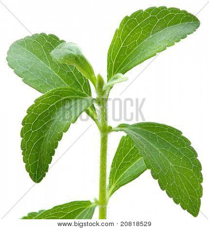 Stevia rebaudiana, sweet leaf sugar substitute isolated on white background