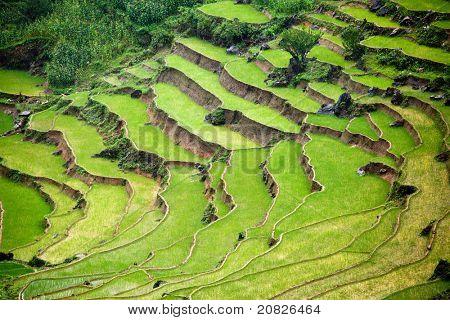 rice paddy in terrace in vietnam