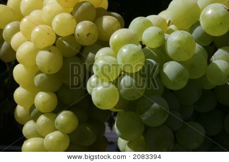 Bunch Of Mature Grapes 4
