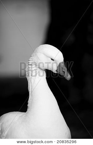 Somber Goose