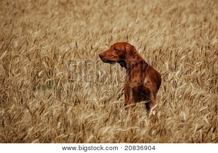 Deerhound in the corn