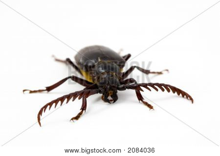 California Prionus Beetle 2