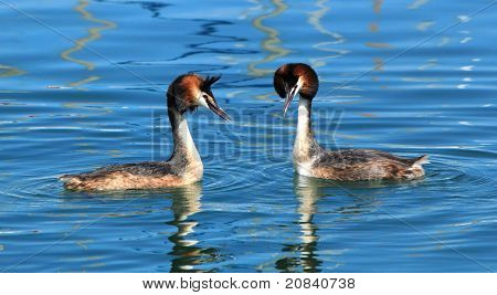 Couple Of Great Crested Grebe Ducks