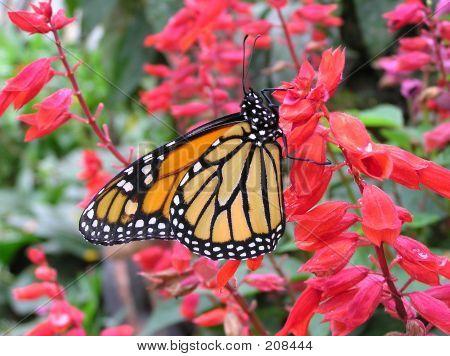 Monarch - 9