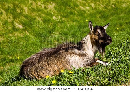 Goat on a grass
