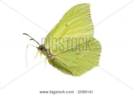 Isolated Brimstone Butterfly
