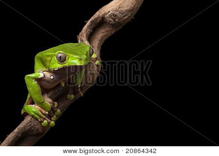 green tree frog at night on diagonal branch in amazon rain forest of Brazil beautiful poisonous amphibian this treefrog is a nocturnal animal of the rainforest in south America macro with copy space