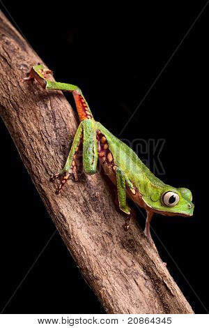 tree frog crawling on branch in tropical jungle of amazonian rain forest Brazil this beautiful amphibian lives at night it is a monkey treefrog Phyllomedusa vailanti