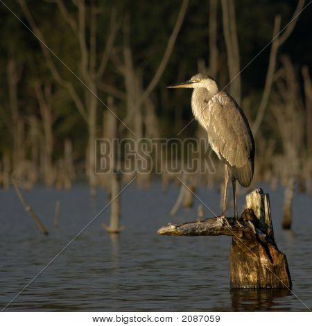Great Blue Heron On A Stump