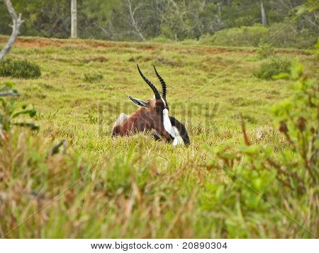 Sleeping Bontebok