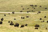 picture of female buffalo  - a herd of American buffalo grazing in Custer State Park in the Black Hills of South Dakota - JPG