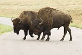 picture of female buffalo  - male and female American buffalos crossing the road in Custer State Park in the Black Hills of South Dakota - JPG