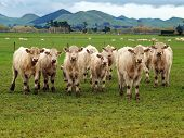 image of charolais  - A country scene with some charolais in the foreground  - JPG