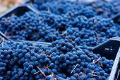 Blue Grapes, Background Of Freshly Picked Grapes, Wine Grapes. Dark Wine Grapes Background, Grape poster