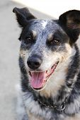 stock photo of blue heeler  - close up of a blue heeler dog - JPG