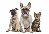 Group of dogs and cat sitting in a raw, isolated on white poster