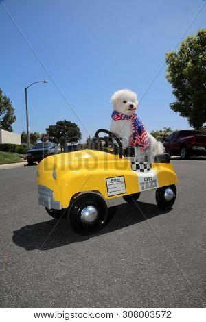 poster of Dog in Taxi Pedal Car. A Bichon Frise dog drives her yellow Taxi Pedal Car. Driving Dog. Dog  car ri