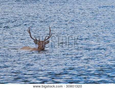 Bull Elk Swimming