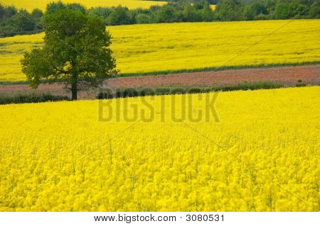 Golden Yellow Rural Landscape