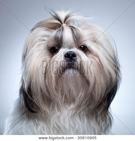 Shih tzu dog on grey background portrait.