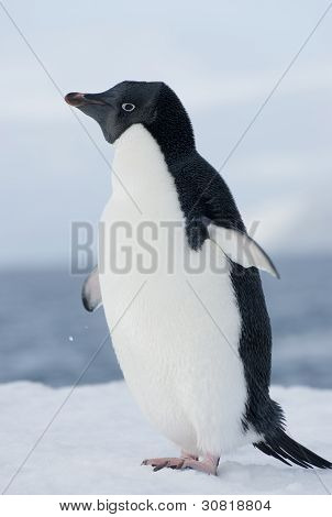 Adelie Penguin In The Snow Against The Blue Sky.
