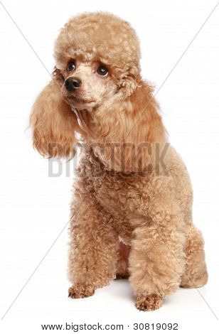 Miniature Poodle Puppy