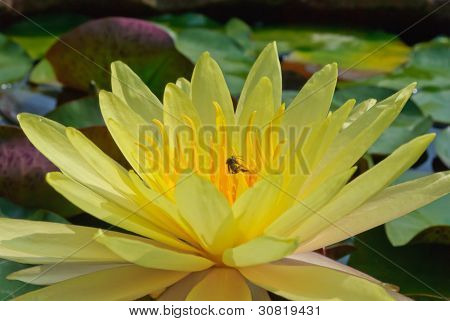 Yellow Blooming Lotus Flower