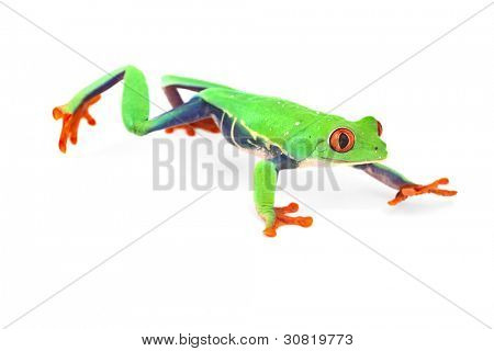 red eye treefrog frog crawling macro isolated exotic curious animal bright vivid colors of tropical rain forest Costa Rica cute and funny amphibian