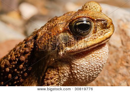 tropical cane toad calling and bitten by mosquito