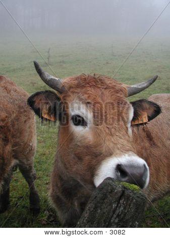 Cow .. Moooooooo poster