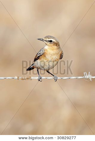 Gray Wheatear