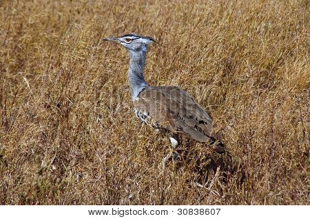 Kori Bustard Walking Through Grass