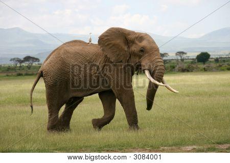 African Elephant In Amboseli
