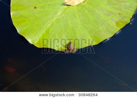 Frog On Green Lotus Leaf