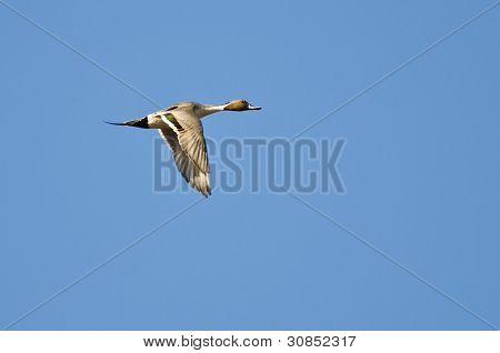 Northern Pintail Flying In A Blue Sky