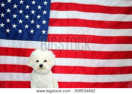 poster of American Flag. White Dog. 4th of July celebration with a small white dog. Forth of July Celebration