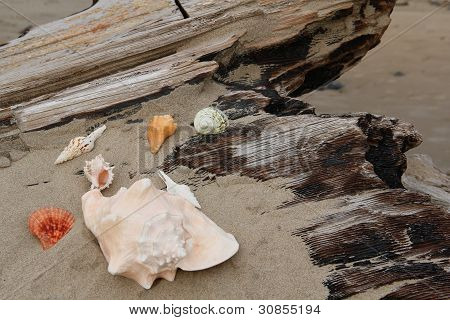 Seashells clustered on driftwood