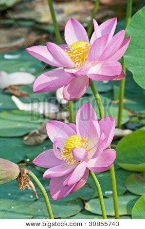 Fósil de viviente de flor de loto sagrado (close up)