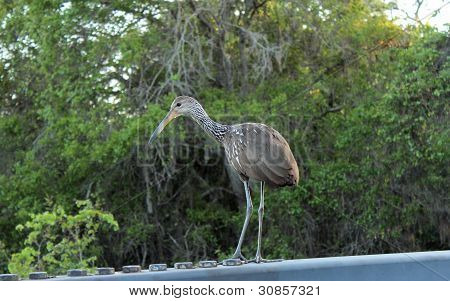 "Limpkin ""crying bird"""