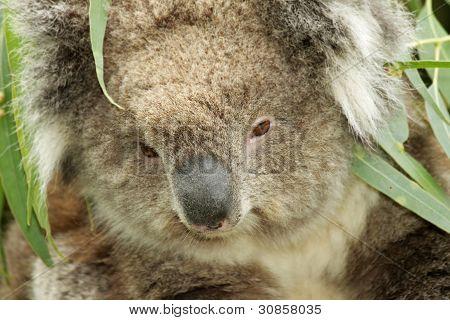 Koala Portrait Closeup