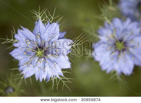 Nigella Damascena Flowers