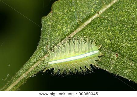 Lepidoptera na folha verde na natureza