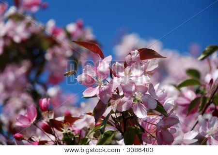 Appletree Flowers