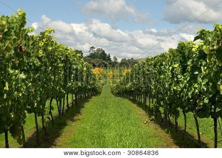 Rows Of Grapevines Growing In A Vineyard