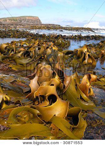 Kelp Covered Coast